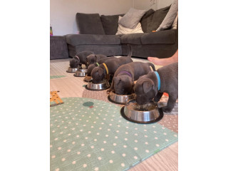 Adorable loving males and females Staffordshire Bull Terrier Puppies