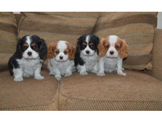 Adorable Cavalier King Charles Spaniel Puppies looking for new forever home