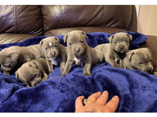 Blue Staffordshire Bull Terrier Puppies 4 sale