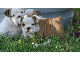 Beautiful males & females English Bulldog puppies