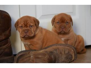 Dogue de Bordaux kc reg for sale