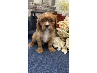 Magnificent, family raised Cavalier KingCHarles Spaniel puppies for sale