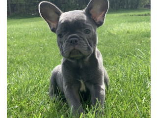 French bulldog puppies ready for rehoming