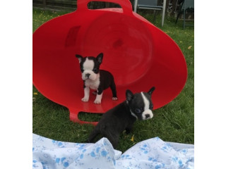 Boston Terrier Pups for Sale.