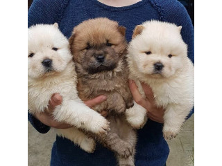 Chow Chow Puppies for Sale.