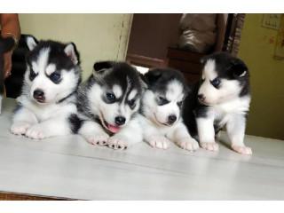 Socialized Siberian Husky Puppies