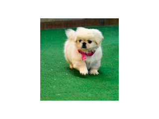 High quality pekingese puppies for sale girls and boys