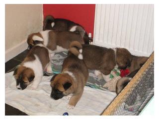 American Akita Puppies X5 Champions