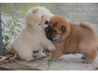 KC Reg chow chow puppies for loving family