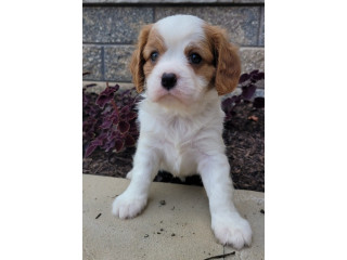 Sun shine purebred Cavalier King Charles puppies looking for a lovely home
