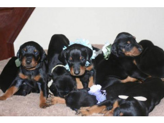 Truly Gorgeous Doberman Pups With Superb Breeding