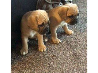 Outstanding Puggle Pups