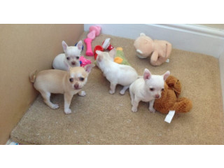 Kennel Club Registered Chihuahuas For Sale