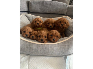 Have Beautiful Red Caverpoos For Sale Felixstowe