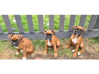 5 Generation Boxer Pups For Sale Only 2 Bobtailed