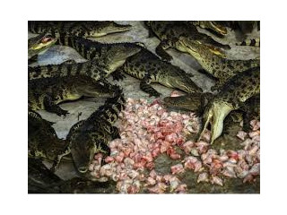 Lovle male amd female crocodlies for goos home