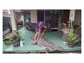 Male and female crocodlies for sale and for good home