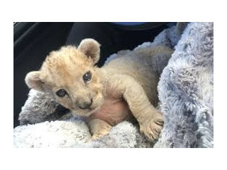 Baby lioness for sale