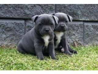 Blue Staffy Puppies Staffordshire Bullterrier