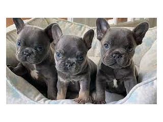 3 French bulldog Puppies for Adoption