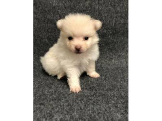Extremely cute, home raised, and socialized Pomeranian puppies for sale