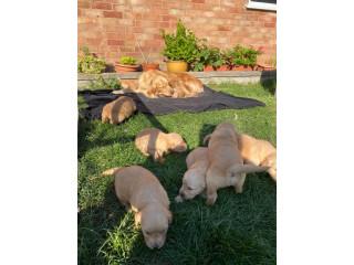 Chunky Quality golden Retriever Pups