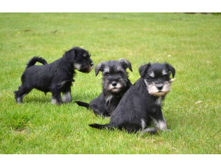 Lovely home reared miniature schnauzer