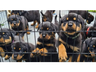 Rottweiler Puppies Girls and boys For Sale..