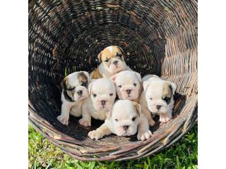 Champion English Bulldog Puppies