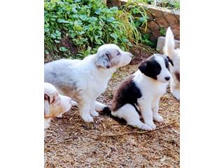 Three Beautiful Border Collie Puppies.