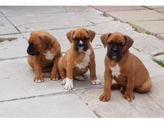 Red And White Boxer Pups