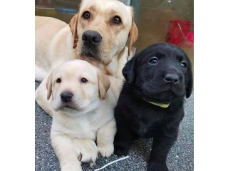 . Labrador puppies both male and female