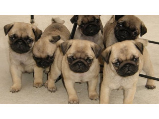 Kc Registered Pde Clear Pug Puppies