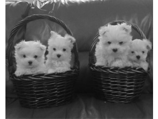 Maltese puppies both male and female