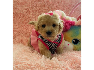 Playful maltipoo puppies For New Homes