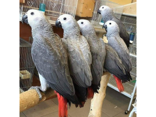 Nice looking African Grey Parrots Available for sale