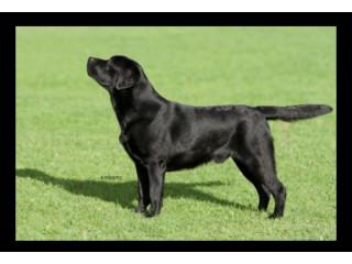 Labrador Puppies Show Type