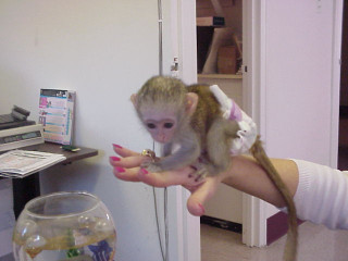 Capuchin Monkeys for sale and adoption. ..whatsapp me at: +447418348600