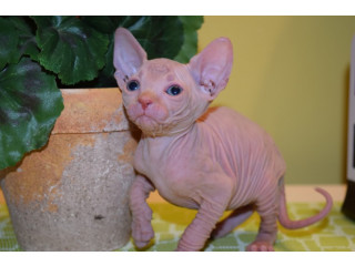 Beautiful Sphynx Kittens ..whatsapp me at: +447418348600