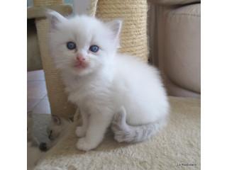 Gorgeous Gccf Ragdoll Kittens, ..whatsapp me at: +447418348600