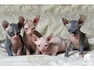 Adorable Sphynx kittens Quality Pedirgee