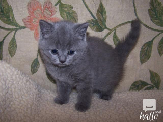 Four Beautiful British Short Hair Kittens