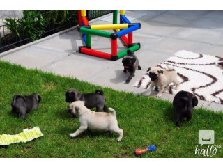 Registered Pug Puppies Show Quality