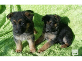 German Sherpherd Puppies Ready Now