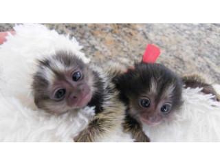 Amazing marmoset Monkeys Available for new homes