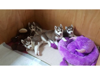Gorgeous Siberian Husky Puppies .whatsapp me at: +447418348600