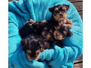Yorkshire Terrier Puppies..whatsapp me at: +447418348600