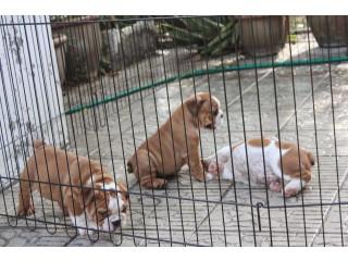 Quality English bulldog puppies