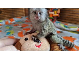 Marmoset Monkeys.