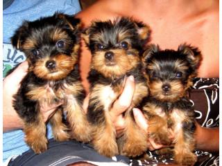 Adorable Teacup Yorkie Puppies +447440524997